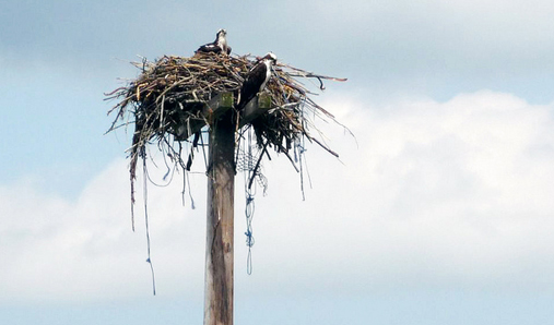 The osprey who have nested at the site are now tending to their nestlings.