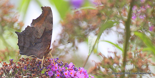 A Question Mark butterfly photographed at DeKorte Park in early July